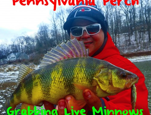 Pennsylvania Perch Grabbing Live Minnows