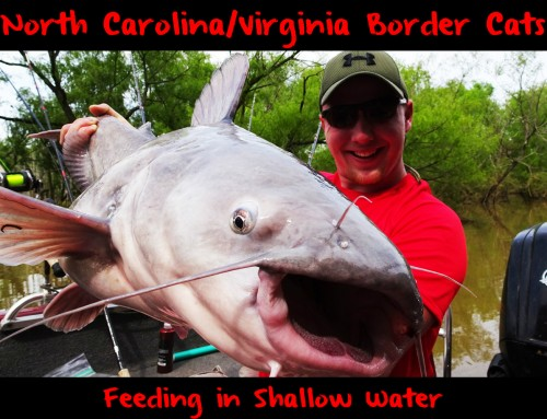 North Carolina/Virginia Border Cats Feeding in Shallow Water