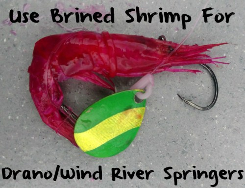 Use Brined Shrimp For Drano/Wind River Springers