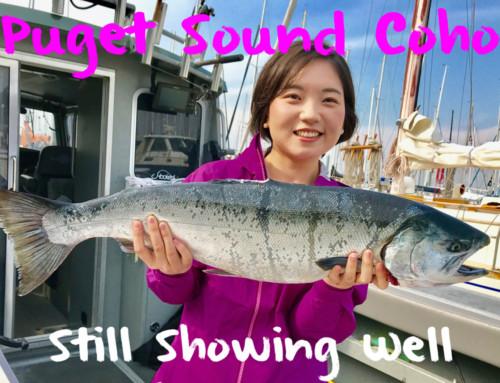 Puget Sound Coho Still Showing Well