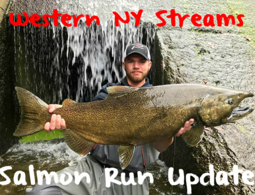 Western NY Streams: Salmon Update
