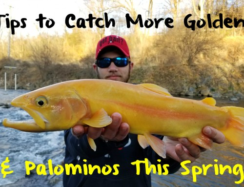 Tips to Catch More Golden Rainbows & Palominos This Spring