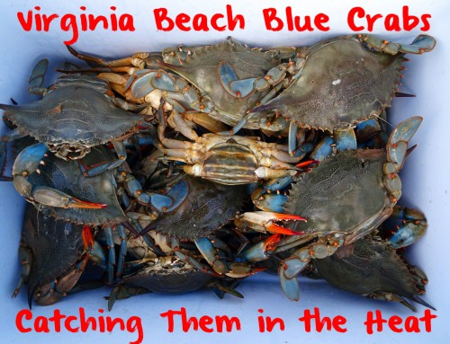 Virginia Beach Blue Crabs: Catching Them in the Heat