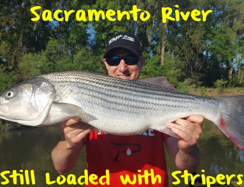 Sacramento River Still Loaded with Stripers